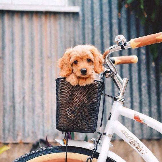 cute puppy in basket on bike