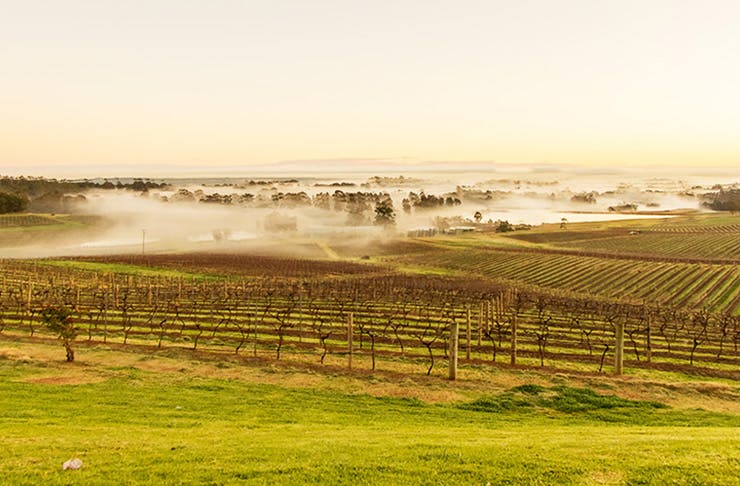 morning fog over vineyard in the Hunter Valley