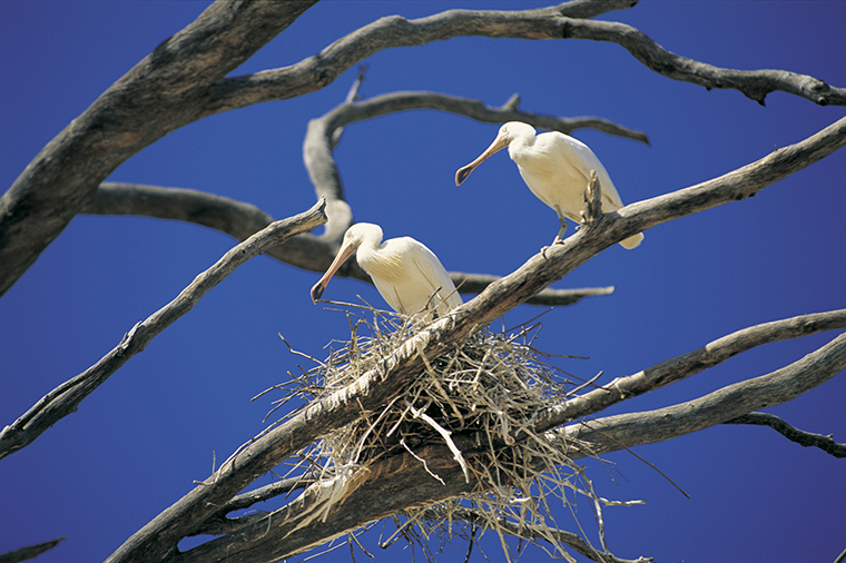 Spoonbill bird sitting in nest New South Wales